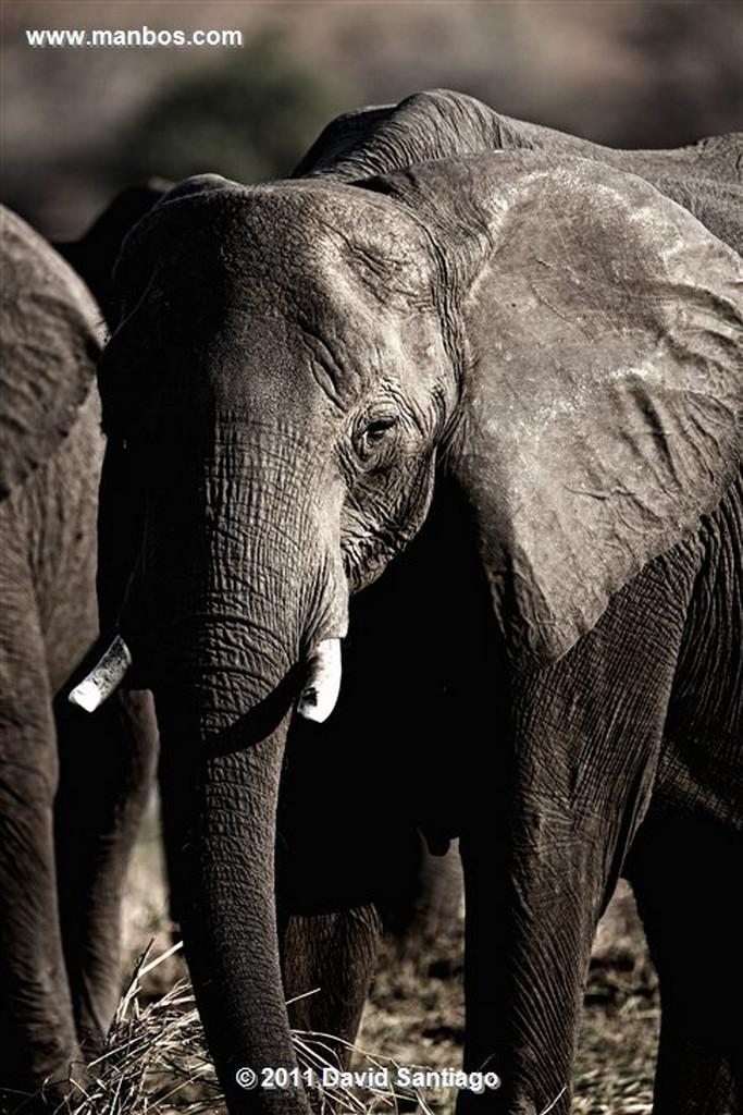 Botswana Botswana Elefante  african Elephant  loxodonta Africana  Botswana