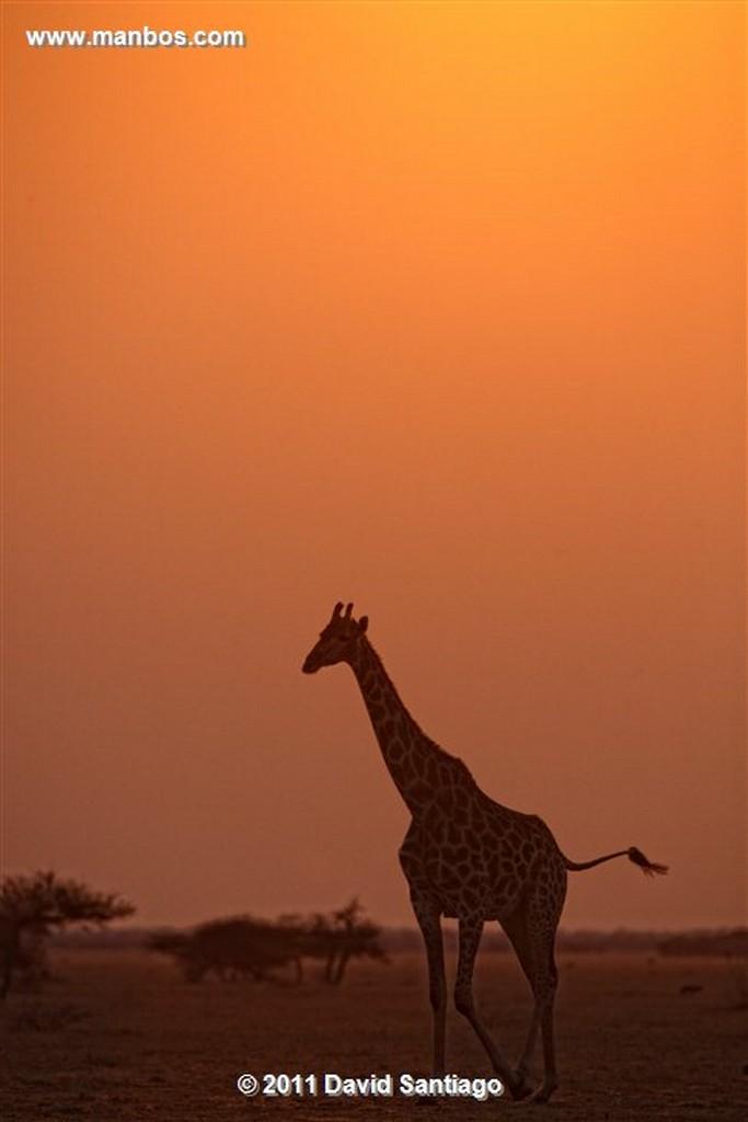 Botswana Botswana Jirafa  giraffa Camelopardalis  Botswana