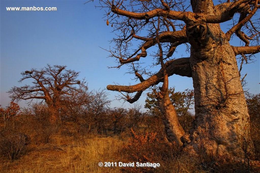 Botswana Botswana Baoba  Botswana