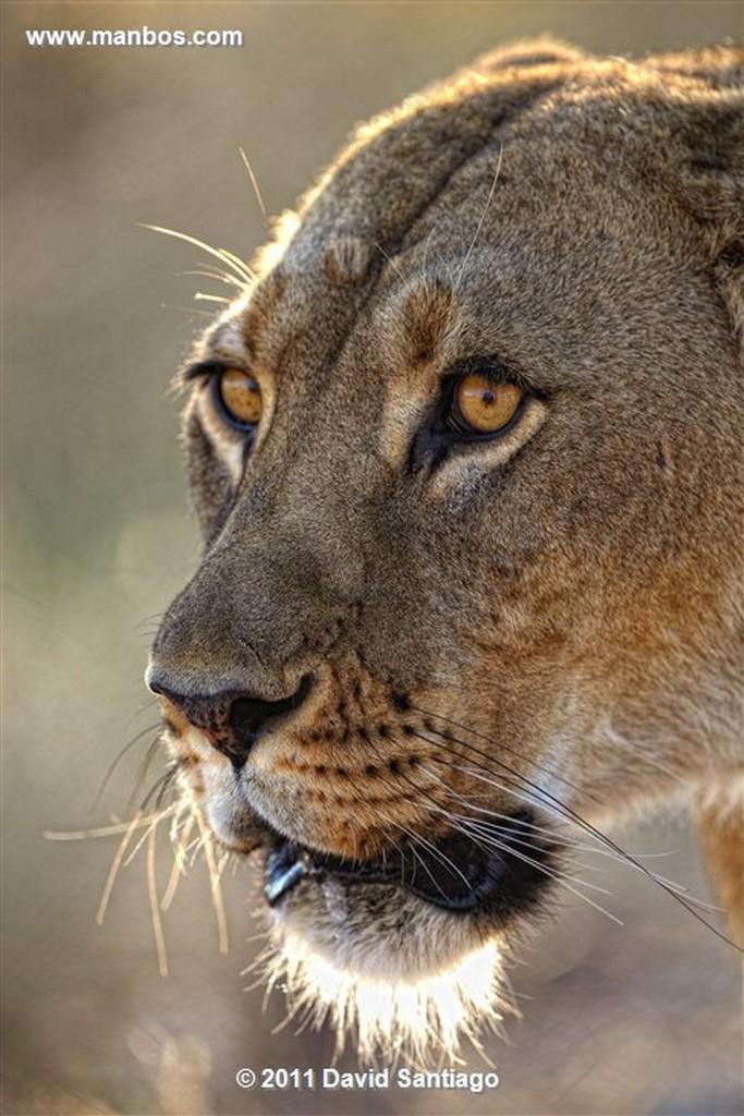 Botswana Botswana Guepardo  acinonyx Jubatus  Botswana