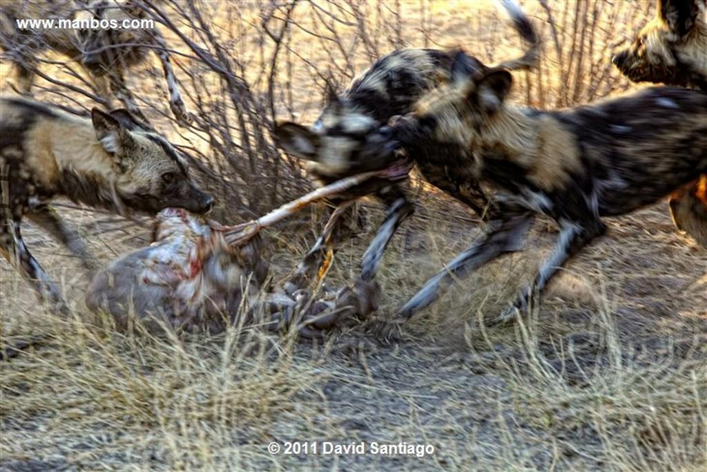 Botswana Botswana Perro Salvaje Africano Lycaon Pictus  Botswana