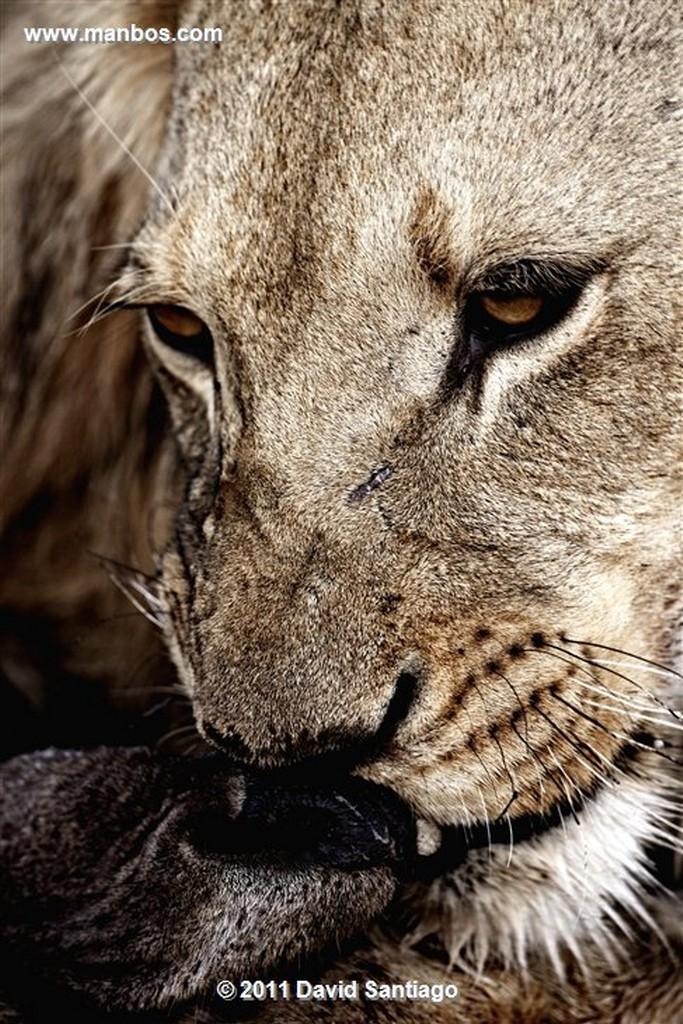 Botswana Botswana Leon  lion  panthera Leo  Botswana