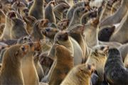 Cape Cross Seal Reserve, Namibia, Namibia