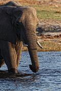 Camera Canon EOS 500D Botswana Elefante  african Elephant  loxodonta Africana  The Sud African BOTSWANA Photo: 23238