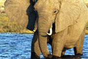 Camera Canon EOS 500D Botswana Elefante  african Elephant  loxodonta Africana  The Sud African BOTSWANA Photo: 23239