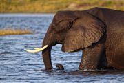 Camera Canon EOS 500D Botswana Elefante  african Elephant  loxodonta Africana  The Sud African BOTSWANA Photo: 23246