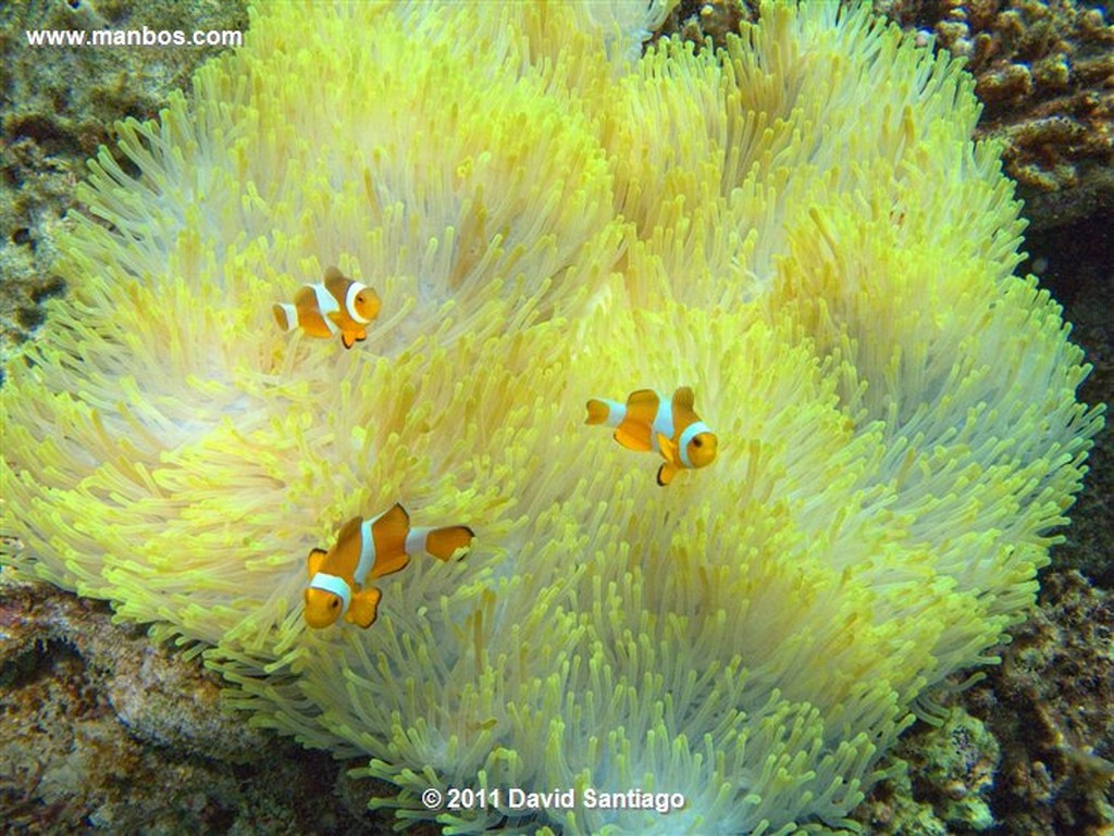 Palawan Clownfish Bacuit Archipielago