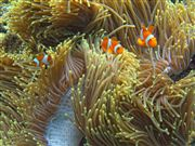 Camera Canon PowerShot G9 Clownfish Philippines PALAWAN Photo: 25264
