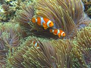 Camera Canon PowerShot G9 Clownfish Philippines PALAWAN Photo: 25261