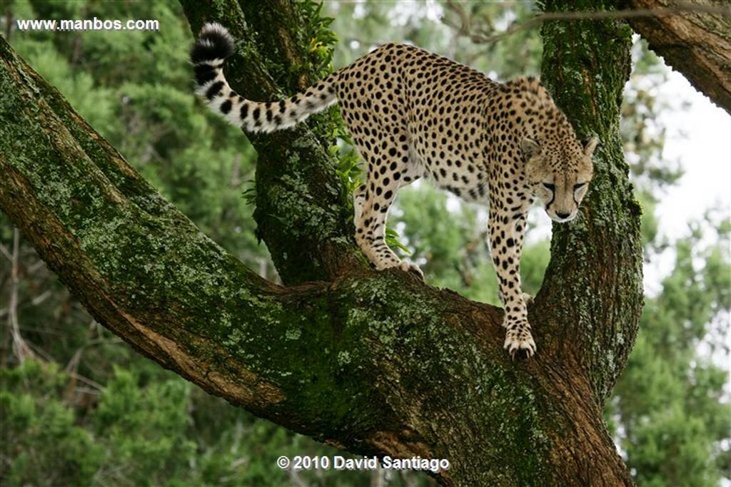 Masai Mara Leopardo Masai Mara