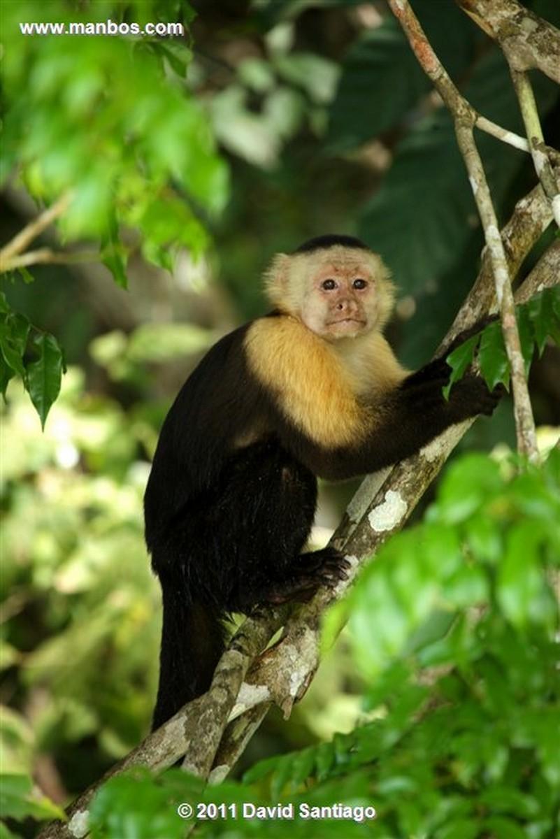 Panama Gamboa Rain Forest Gatun Lake White Headed Capuchin Panama