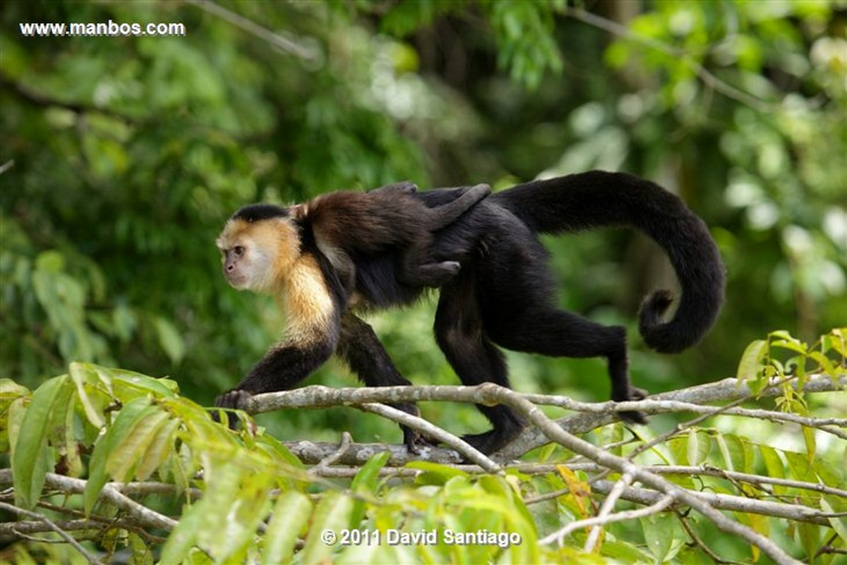 Panama Gamboa Rain Forest Gatun Lake White Headed Capuchin Panama
