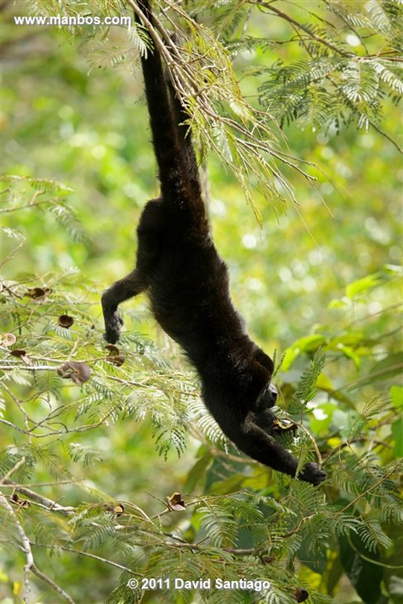 Panama Monos Aulladores Panama