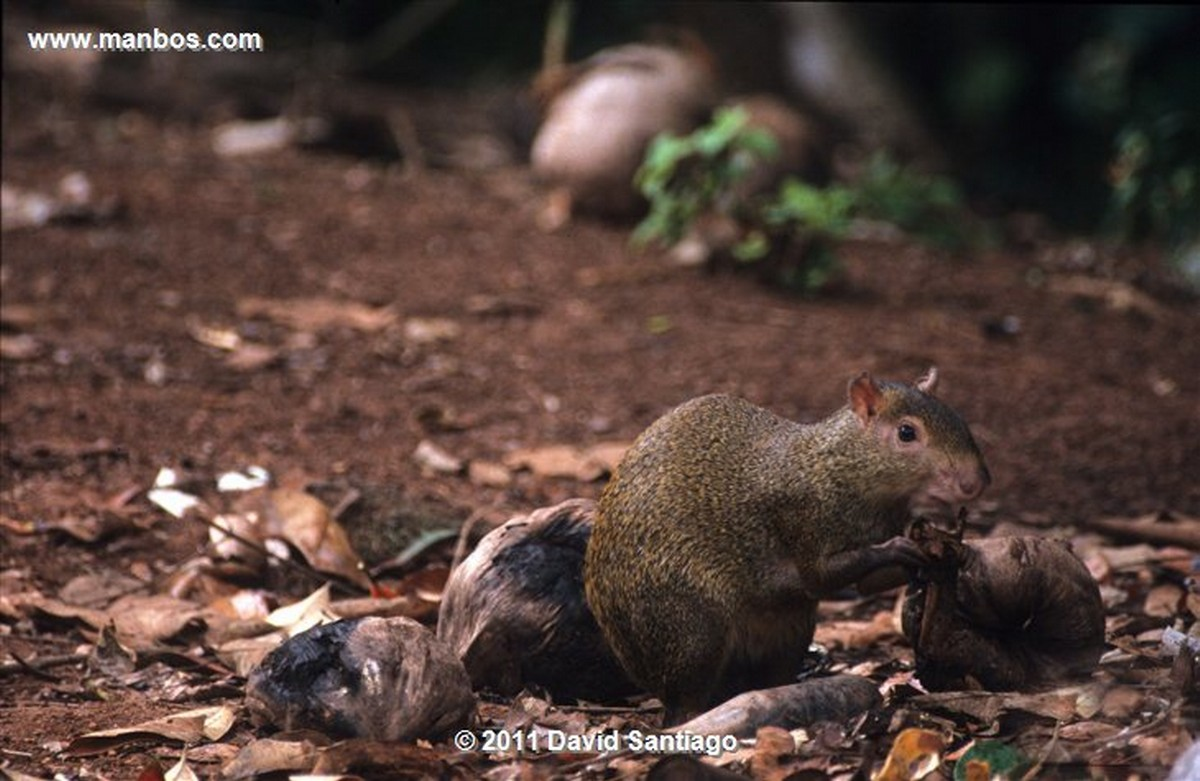 Panama Caracara Crestada Polyborus Plancus Darien National Park Panama