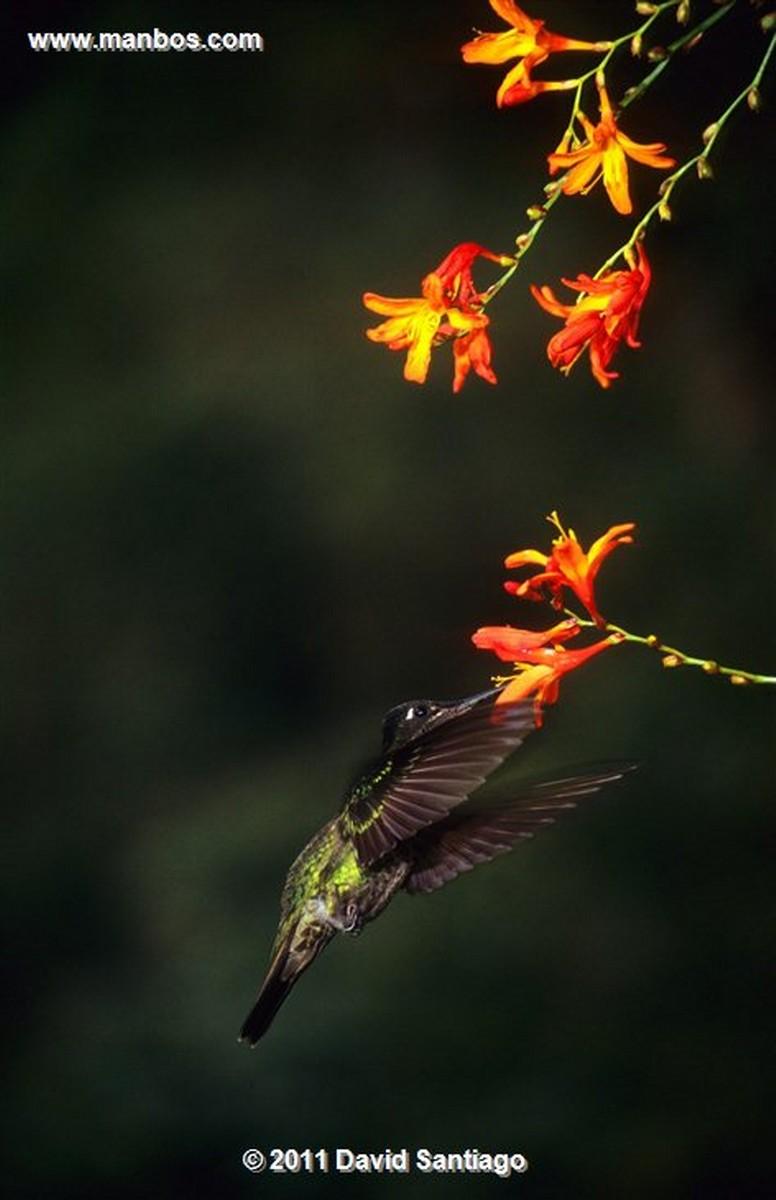 Panama Darien National Park   ñeque Dasyprocta Coybae Panama