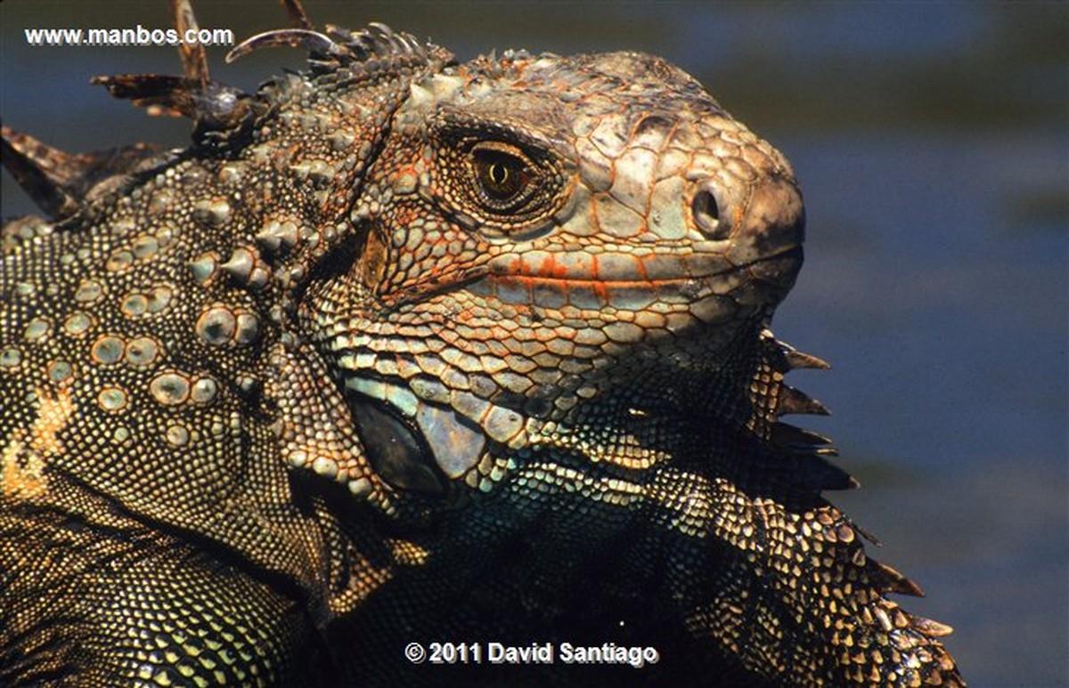 Panama Iguana Iguana Coiba National Park Panama