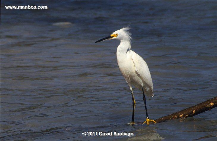 Panama Pelicano Pelecanus Occidentalis Darien National Park Panama