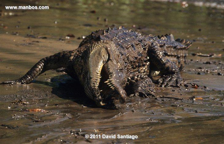 Panama Darien National Park Gallinazo Cabecinegro Coragyps Atratus Panama