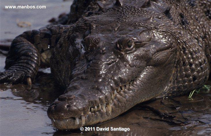 Panama Caiman Crocodylus Coiba National Park Panama