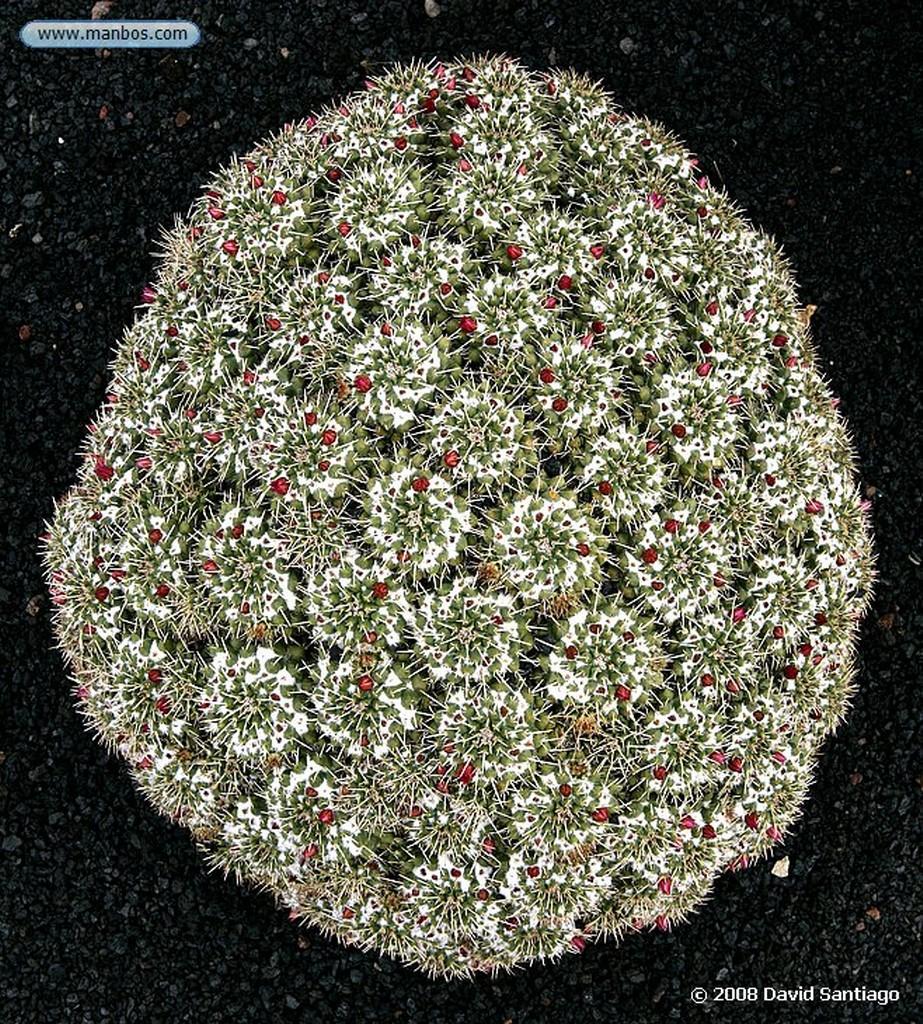 Lanzarote Echinopsis thelengonoides Canarias