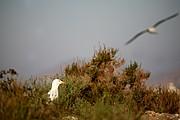 Foto de Cabo de Gata, España - GAVIOTA SOMBRIA