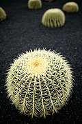 Photo of Lanzarote, Cactus Garden, Spain - Echinocactus grusonii