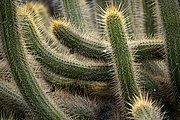 Photo of Lanzarote, Cactus Garden, Spain - Echinopsis thelengonoides