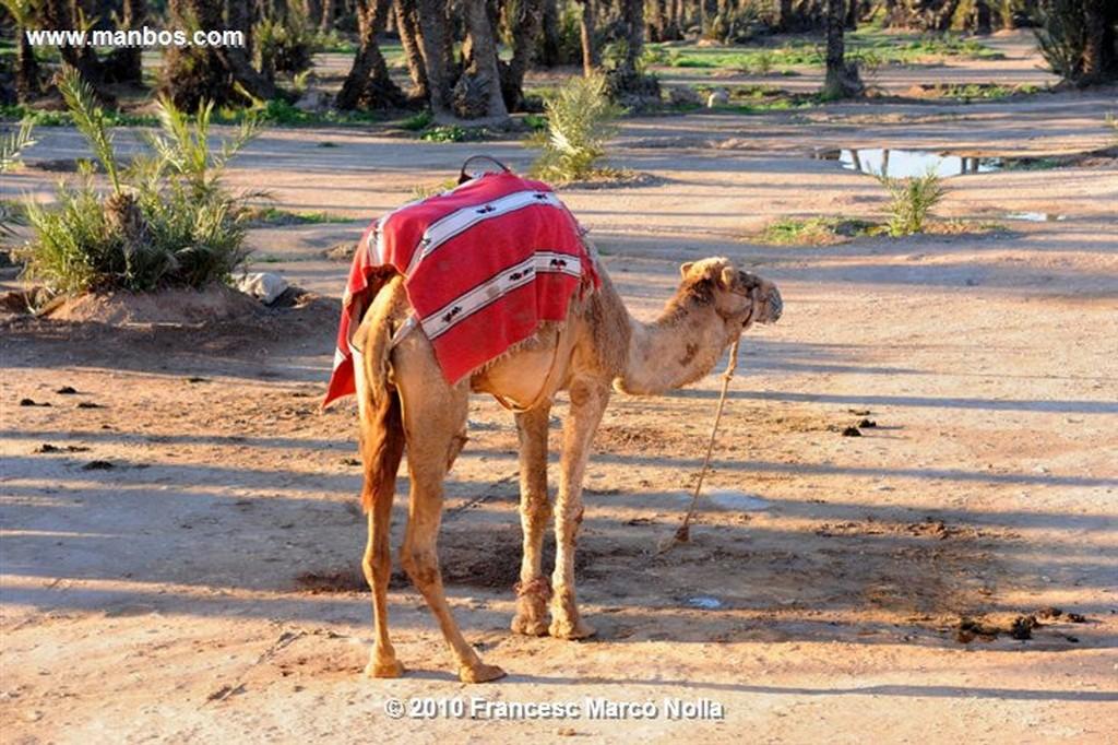 Marruecos  la palmeraie - marrakech Marruecos