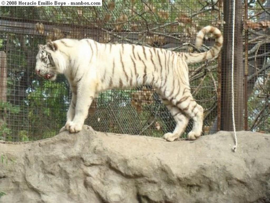 Buenos Aires Tigre Albino Buenos Aires