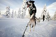 Trineos de perros husky, Laponia, Finlandia