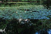 Camara NIKON D80 Lago con nenufares Francisco Javier Cillero Corral MEDELLIN Foto: 27506