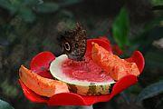 Camara NIKON D80 Mariposa desayunando Francisco Javier Cillero Corral MEDELLIN Foto: 27507