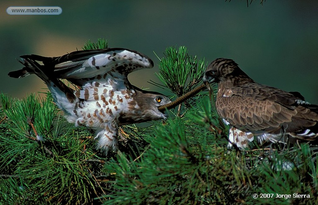 Naturaleza Aguila imperial Caceres
