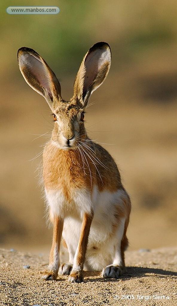 Naturaleza LINCE IBÉRICO (LYNX PARDINA) - IBERIAN LYNX Parque Nacional Doñana