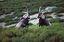 Naturaleza CABRA MONTÉS DE GREDOS (Capra pyrenaica victoriae) Avila
