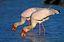 Naturaleza Cigüeña picoamarilla Parque Nacional Kruger