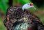 Naturaleza Pavo de selva (Belice) Belice