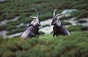 Cabra Montes, Naturaleza, España