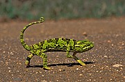 Camaleón, Naturaleza, Sudafrica