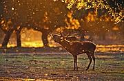 Ciervo ibérico, Naturaleza, España