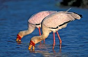 Cigüeña picoamarilla, Naturaleza, Sudafrica