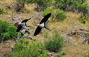 Cigüeñas negras, Naturaleza, España
