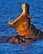 Hipopótamo, Naturaleza, Sudafrica