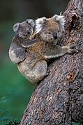 Naturaleza Koala<br>Foto: 15504