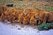 Leones, Naturaleza, Sudafrica