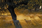 Photo of Wildlife and Nature, Ovis sp, Spain - Ovejas en Extremadura