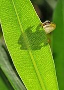 Foto de Naturaleza, Ranita meridional, España - Ranita meridional