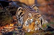 Tigre, Naturaleza, India