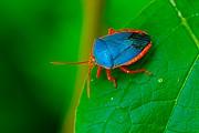 Foto de Naturaleza, Chinche azul, Mexico - Chinche azul