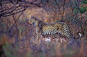 Foto de Naturaleza, Leopardo, Sudafrica - Leopardo (Panthera pardus)